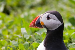 Puffin No2 by Lazlowoodbine2010