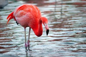 Flamingo by amrodel