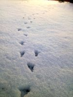 bird tracks on the snow by littleAkvile