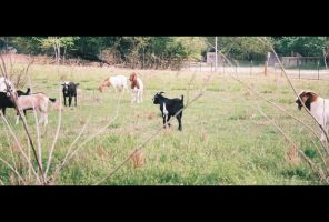Us_Them Goats in the Back Yard by checkingthecheese