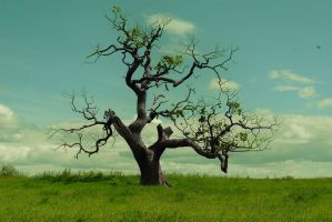 The old oak tree by idalouise