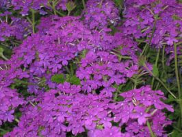 Phlox by S-SPhotography