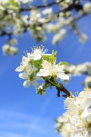 Spring colorful series cherry 3 by GreenSlOw