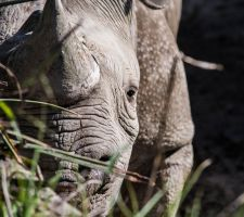 Rhinoceros by Swinemouse
