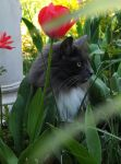 Loki Amongst The Tulips 2 by Forestina-Fotos