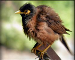 myna so puffy by kumarvijay1708