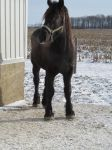 Percheron stallion: stock by Lythre-does-photos