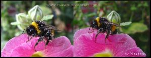 Bumble bee resting on a holly bloom by Miarath