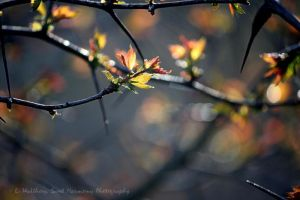 Early Maple Red by Foxytocin