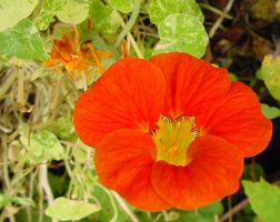 Nasturtium - Flower of Innocence and Childhood by SrTw