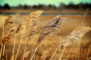Golden Reeds (2) by noregretting91