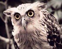 Strained Owl by Aisoleil