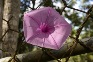 Simple Pink Beauty by ODRA2006