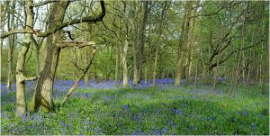 bluebells ,a magical place by Chrobal