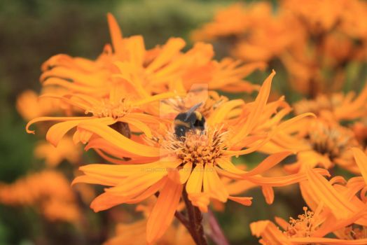 Bee Happy by Emz-Photography