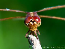 Red Eyes Dragonfly by Stefano-Coltelli