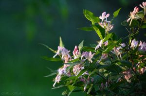 Tree's pink flowers by GuillaumGibault