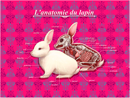 L'anatomie du Lapin by oOCassieOo