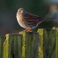 Reed Bunting by dog123456