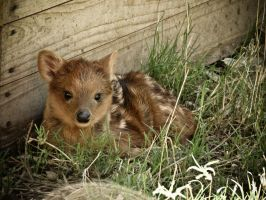Baby Pudu by ExcidiumGT