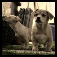 puppies by Varcolaci