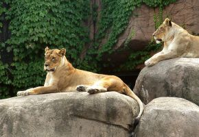 Lincoln Park Zoo-Lions by BillReinhold