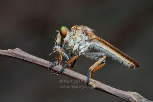 Robber fly with prey (IMG 4563 copy) by orionmystery