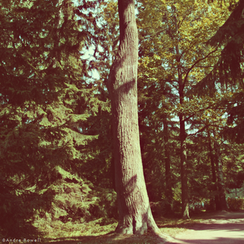 Pine by Andaro