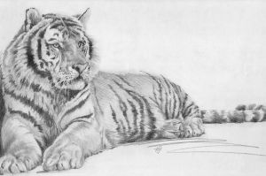 Tiger by tfy