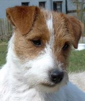Jack Russel Terrier by pleaseforgetme