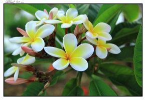 Plumeria by ShlomitMessica