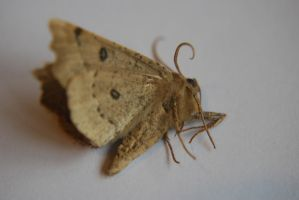 Moth stock 2 by Theshelfs