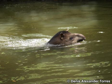 Tapir... crossing a river by torreoso
