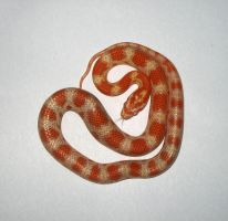 Butter Cornsnake by antiantianti