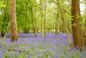 Bluebell Wood by astrogoth13