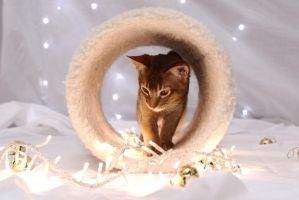 Festive Abyssinian Kitten Stock 2 by FurLined
