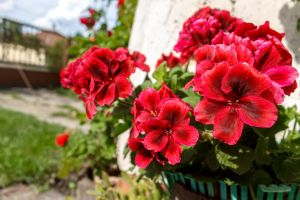 Bella Donna Geraniums by sztewe