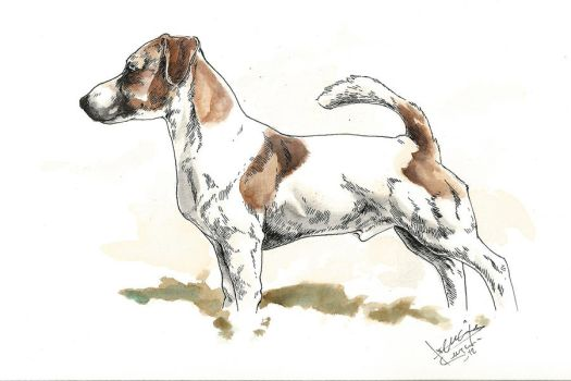 Jack russell terrier by bull-terrier