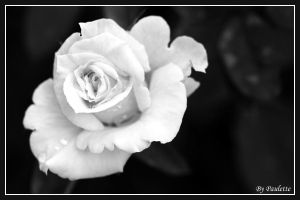 White Rose by shutterbugmom
