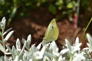 Cabbage White Butterfly by Endaewen