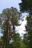 coniferous forest 2 by FreedomeSoul88