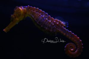 Sea Horse by DYWPhotography