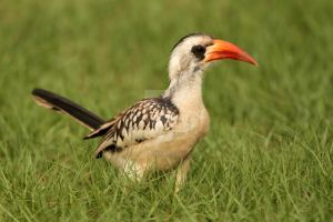 why the long face - Red-billed Hornbill by Jamie-MacArthur