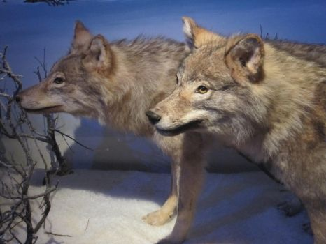 Wolf Heads [Stock] by PukiPhotography