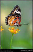Leopard Lacewing 3 060708 by inckurei