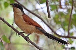 Senegal Coucal by Solrac1993