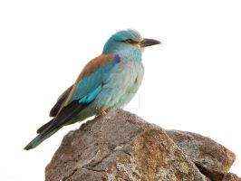 Rock 'N' Roller - European Roller on a Rock by Jamie-MacArthur