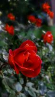 Red rose.......... by gintautegitte69