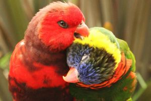 Lorikeets - Rainbows of Color by I-Heart-Photos