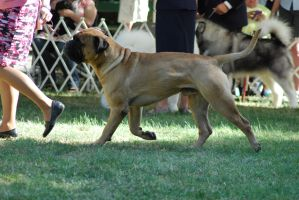 Bullmastiff 15 by xxtgxxstock